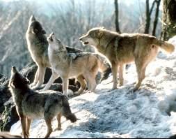angrep av ulv
