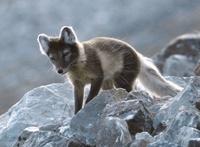 Fjellrev på Svalbard