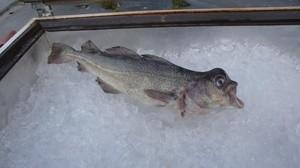 Deformert torsk (Ingress image)