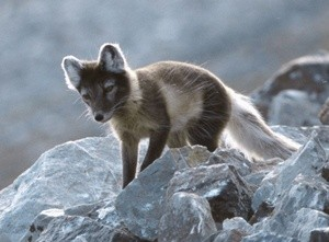 ingressimage_Fjellrev-paa-Svalbard_foto-Michael-Haferkamp.jpg