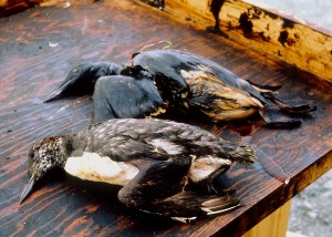Foto: Exxon Valdez Oil Spill Trustee Council
