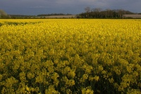 frontpageingressimage_800px-Rapeseed_field.jpg