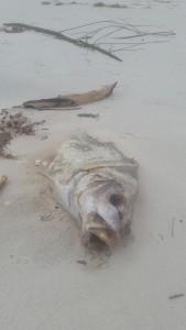 toxic algea fish