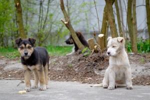 chernobyl dogs 2