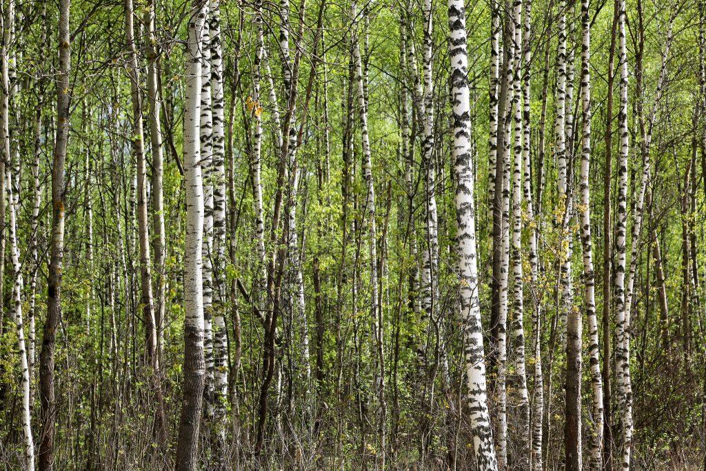 Russian birch forest