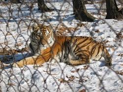 bodytextimage_tigr1.jpg