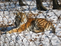frontpageingressimage_tigr1.jpg