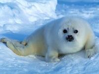 детеныш гренладского тюленя
