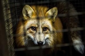 ingressimage_19-fox.jpg