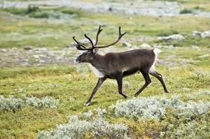 ingressimage_20070818-0001-strolling_reindeer.jpg