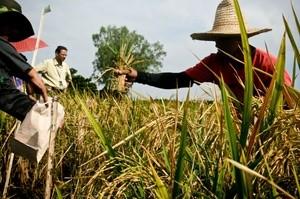 Filipino fadmers destroy GMO rice (Ingress image)