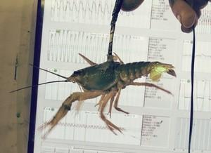 crawfish (Ingress image)