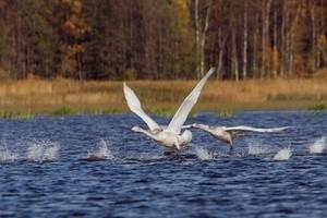 swan лебедь раковые озера (Ingress image)