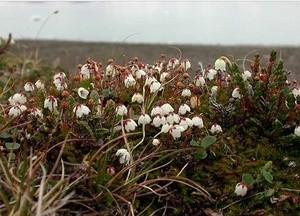 arctic vegetation (Ingress image)