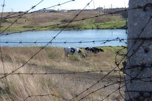 Cows on the Techa river banks (Part-Whole)