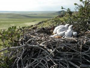 Около 20 жилых гнезд степного орла находятся на территории заказника «Чарышская степь».
