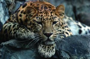 Дальневосточный леопард – самая редкая крупная кошка на планете.