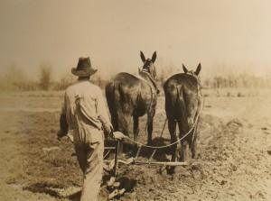 Выращивание хлопка в ходе экспериментов с сидератами, 1929 год.