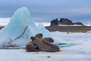 Franz Josef Land reserve Walruses