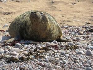 Kurgalskiy reserve grey seal