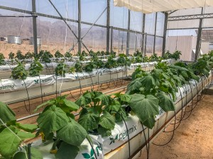 Sahara Forest Project. Выращивание огурцов в Иордании.