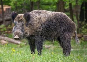 Wild_boar_Wiki