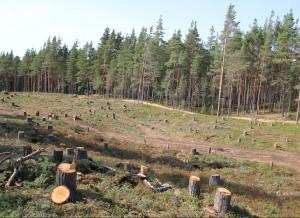 Выпиленный лес. От соснового леса на дюнах остались одни пеньки.