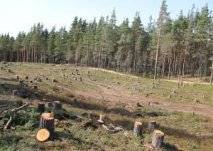 Выпиленный лес в заказнике