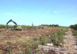 Ещё совсем недавно на этом участке болота Кадер произрастало около 2500 особей росянки промежуточной.