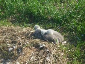 Лебеди-шипуны регулярно гнездятся в заказнике