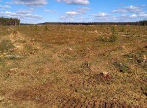 Primorsk forest