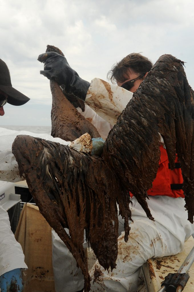 brown pelican deepwater horizon oil spill